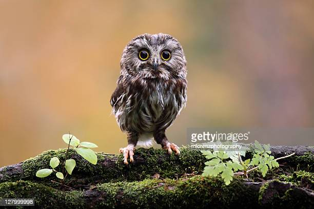 northern saw whet owl - owl stock pictures, royalty-free photos & images