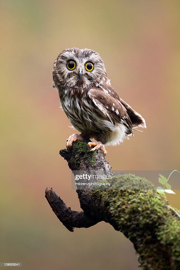 Northern Saw Whet Owl : Stock Photo