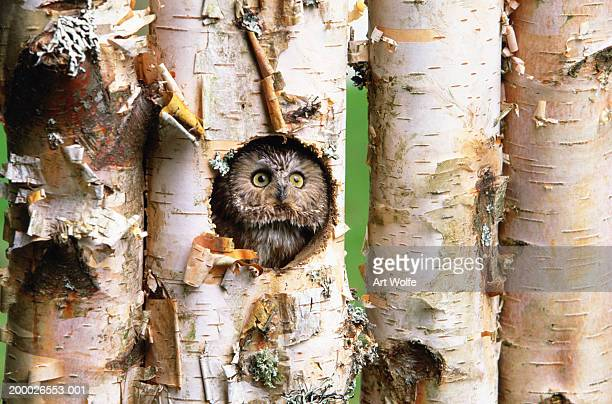 Northern saw-whet owl (Aegolius acadicus) in Birch tree