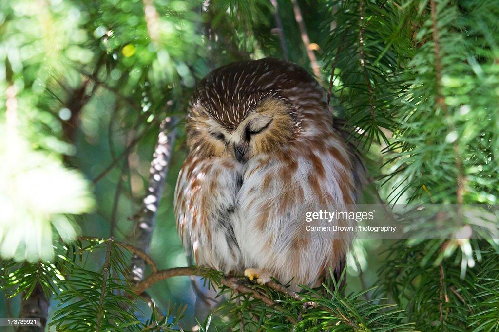 Northern Saw-Whet Owl sleeping peacefully : Stock Photo