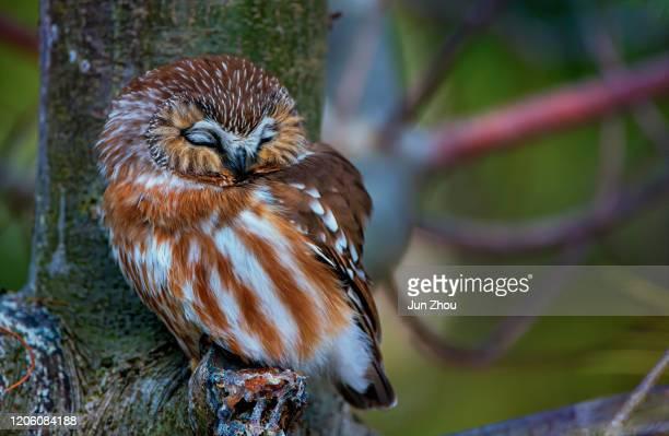 northern saw-whet búho durmiendo - linda rama fotografías e imágenes de stock
