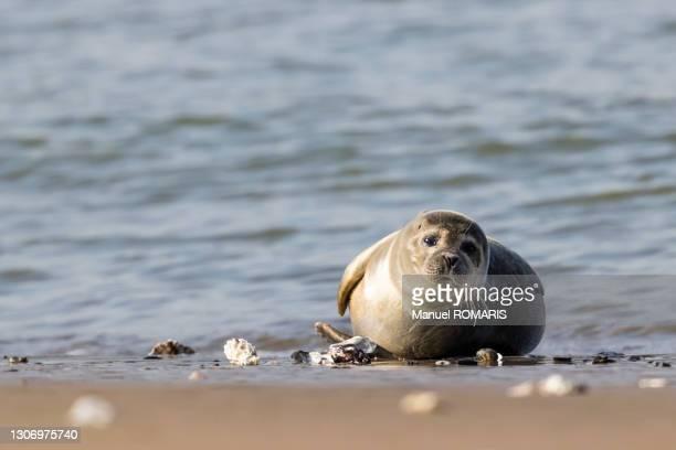 northern seal - オステンド ストックフォトと画像