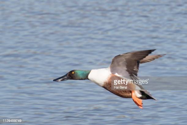northern shoveler duck male taking off - off stock pictures, royalty-free photos & images