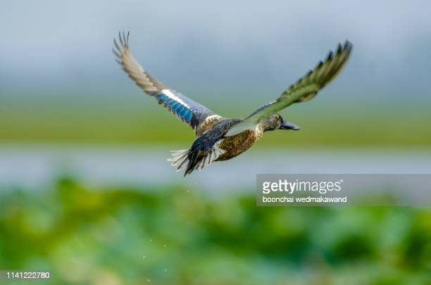 northern shoveler, flying in the warm sunset light - duck bird stock pictures, royalty-free photos & images