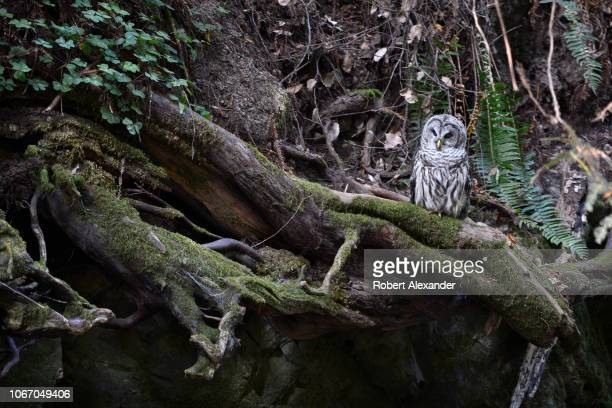 Northern Spotted Owl watches fo prey beside a small stream in Muir Woods National Monument north of San Francisco California