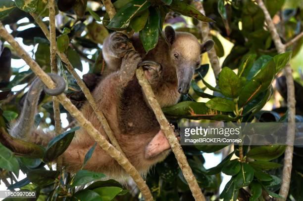 northern tamandua (tamandua mexicana) climbing in a tree, corozal district, belize - tamandua anteater stock pictures, royalty-free photos & images