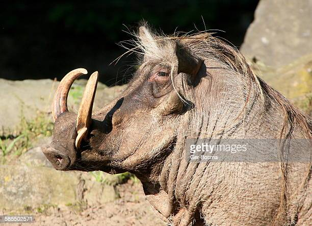 northern warthog portrait - ugly pig stock pictures, royalty-free photos & images