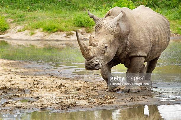 Northern White Rhinoceros (Ceratotherium simum cottoni) at a watering hole, Gomo Gomo Game Lodge