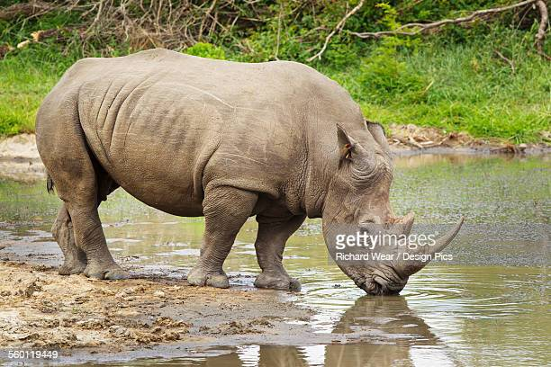 Northern White Rhinoceros (Ceratotherium simum cottoni) at a watering hole, with bird in its ear, Gomo Gomo Game Lodge