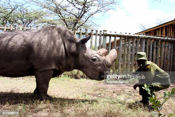 A northern white rhinoceros is seen at Ol Pejeta Conservancy a 90000acre notforprofit wildlife conservancy in Central Kenya's Laikipia County on...