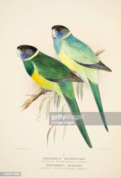 Northern Yellow Banded Parrot and Dundas Yellow Collared Parrot from The Birds of Australia pub 1916 Barnardius Occidentalis Barnardius Dundasi...