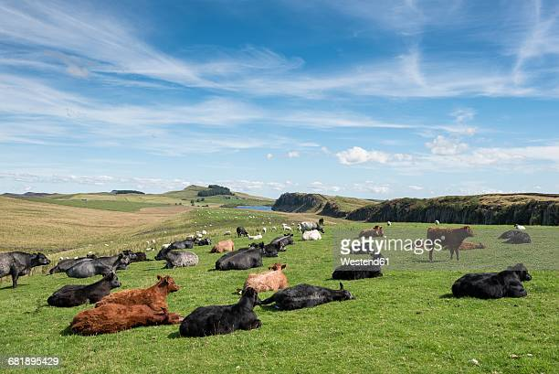 UK, Northumberland, Haltwhistle, herd of cows on a pasture