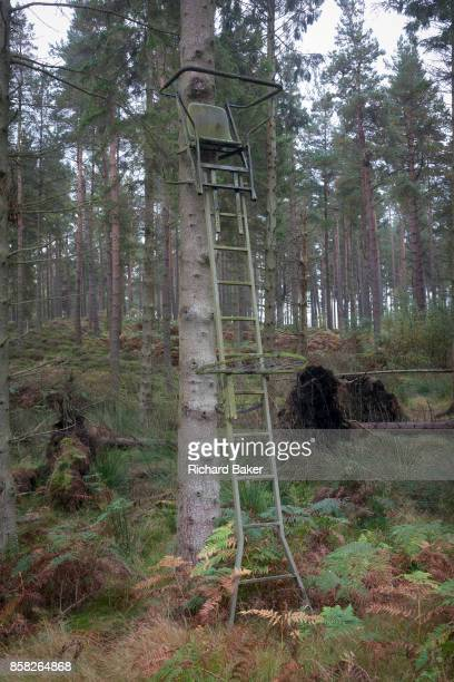 A Northumbrian hunting seat is located at the top of ladders leaning against a pine tree on 25th September 2017 in Rothbury Northumberland England