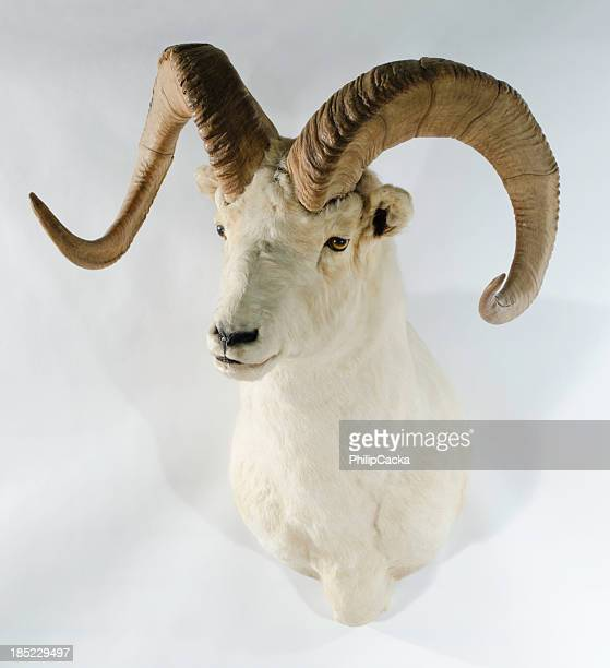 northwest dall sheep trophy head mount - ram animal stock photos and pictures