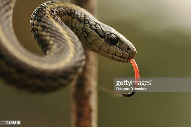 northwestern garter snake - garter snake stock pictures, royalty-free photos & images