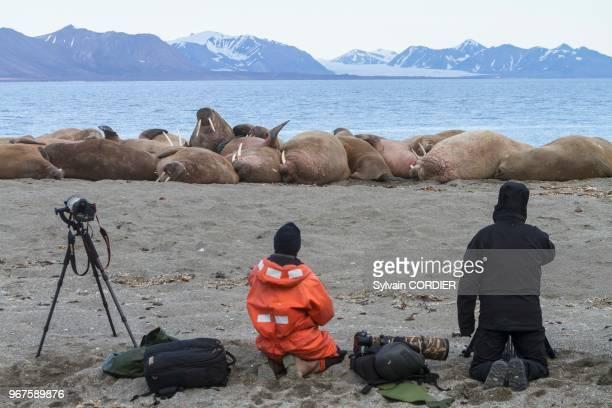 Norvège Archipel du Svalbard Spitzberg Morse de l'Atlantique se reposant en colonie sur une plage