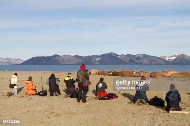 Norvège Archipel du Svalbard Spitzberg Morse de l'Atlantique se reposant en colonie sur une plage jeune et adulte