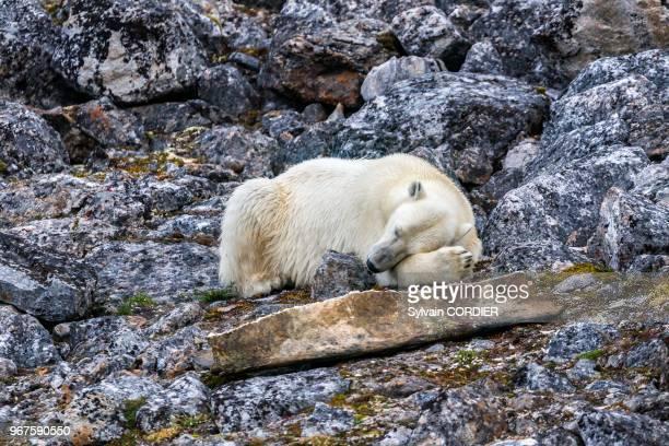 Norvège Archipel du Svalbard Spitzberg Ours polaire sur terre au bord de l'eau au repos