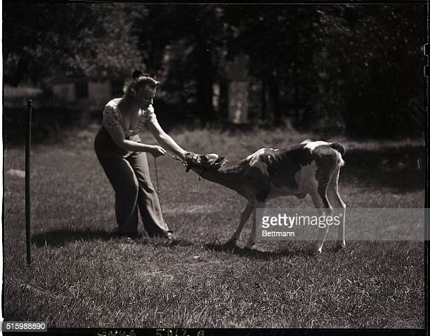 Laura Zaleski pulls her calf by the reinsPhoto circa 1950