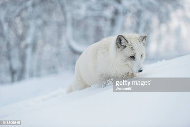 norway, bardu, polar fox in winter - arctic fox stock pictures, royalty-free photos & images