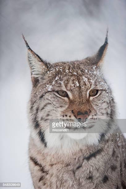 Norway, Bardu, portrait of lynx in winter