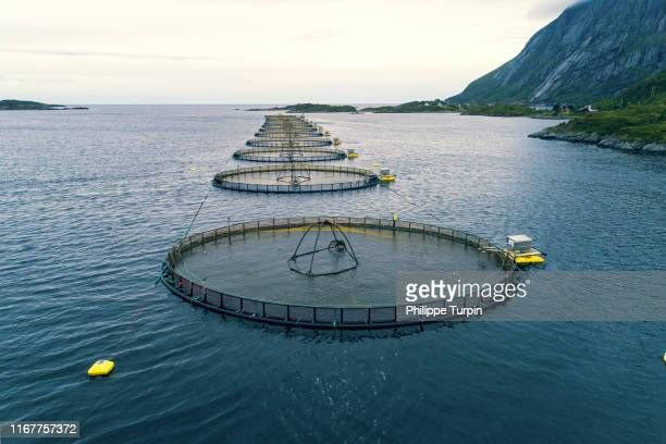 norway, lofoten islands. mlnarodden salmon fishery - aquaculture stock pictures, royalty-free photos & images