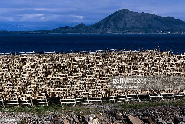 Norway Lofoten Islands Svolvaer Codfish Being Dried On Racks