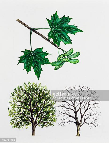 Norway maple Aceraceae tree with and without foliage leaves flowers and fruits illustration
