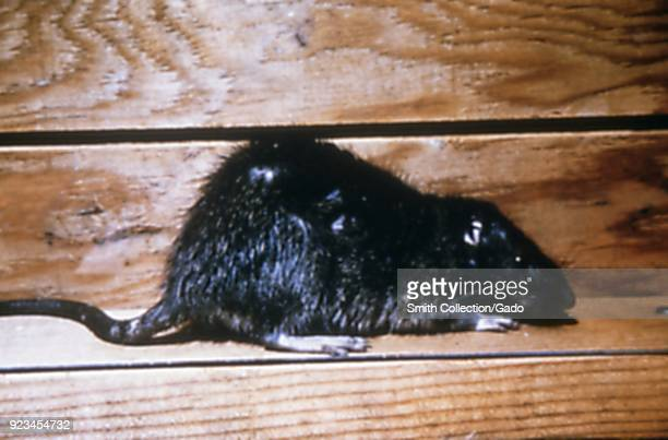 Norway rat also known as the brown rat house rat and sewer rat a carrier of the Yersinia pestis plague bacterium 1972 Image courtesy Centers for...