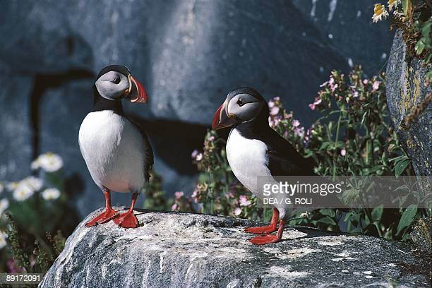 Norway Rost Vedoya Atlantic Puffins on rock