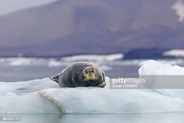 Norway Spitzbergern Svalbard Bearded seal on a piece of ice