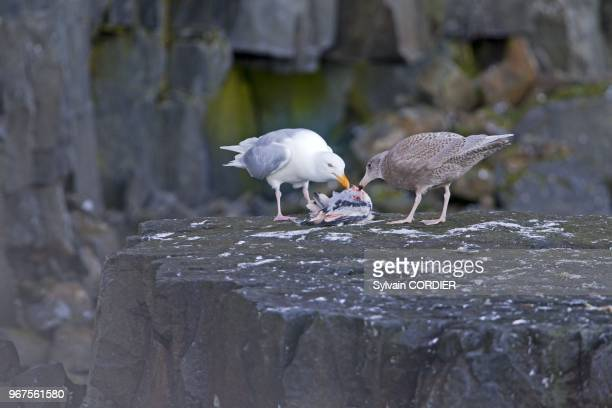 Norway Spitzbergern Svalbard Glaucous Gull adult and juvenile eating a young kittiwake