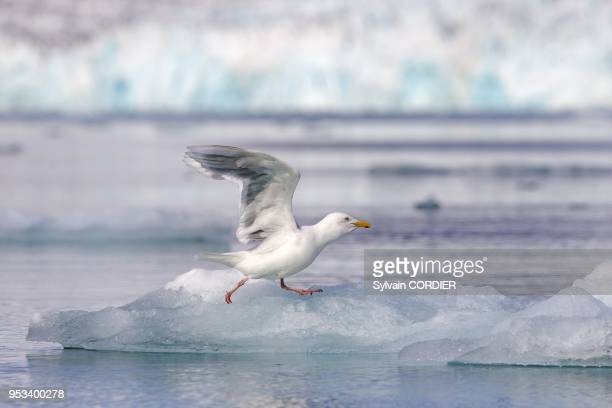 Norway Spitzbergern Svalbard Glaucous Gull flying in front of a glacier