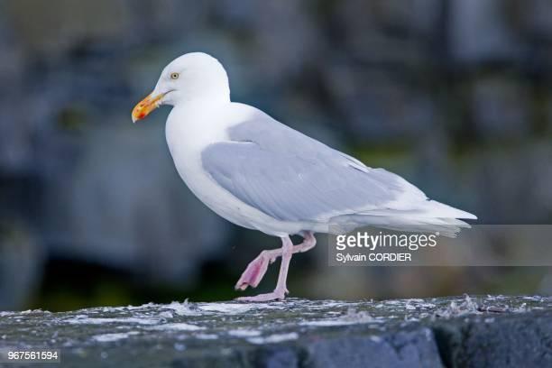 Norway Spitzbergern Svalbard Glaucous Gull