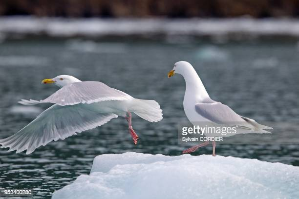 Norway Spitzbergern Svalbard Glaucous Gull sitting on a piece of ice