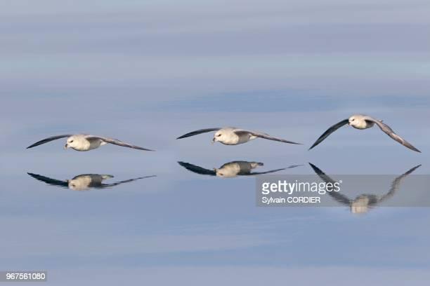 Norway Spitzbergern Svalbard Northern Fulmar or Arctic Fulmar in flight
