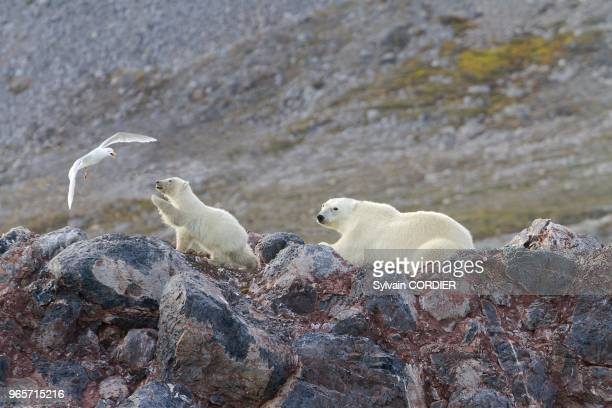 Norway Spitzbergern Svalbard Polar Bear female and young near by a nest of Glaucous Gull the birds are attacking the bears