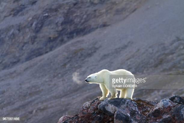 Norway Spitzbergern Svalbard Polar Bear female and young