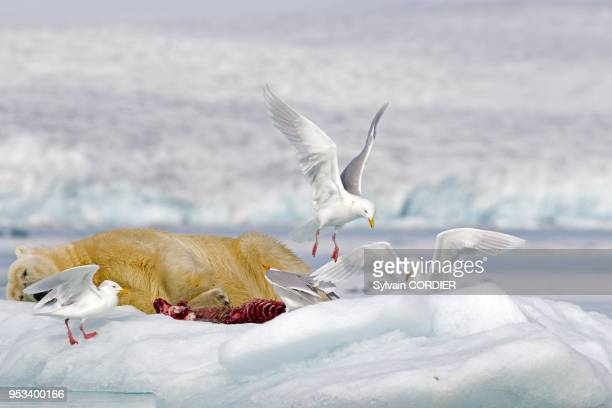 Norway Spitzbergern Svalbard Polar Bear with pieces of a killed seal and Glaucous gull