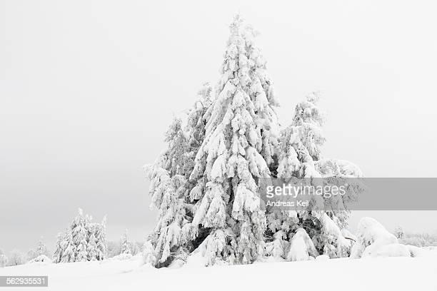 norway spruce -picea- in snow, winter, kahler asten, winterberg, rothaargebirge mountains, sauerland region, north rhine-westphalia, germany, europe - winterberg stock-fotos und bilder