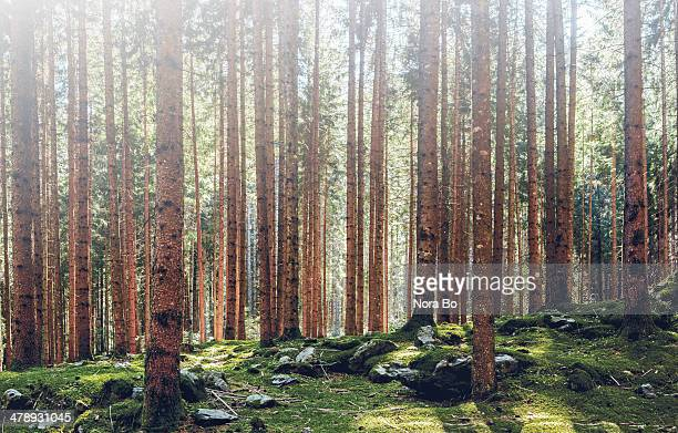 norway spruce woodland in south tyrol - alto adige imagens e fotografias de stock