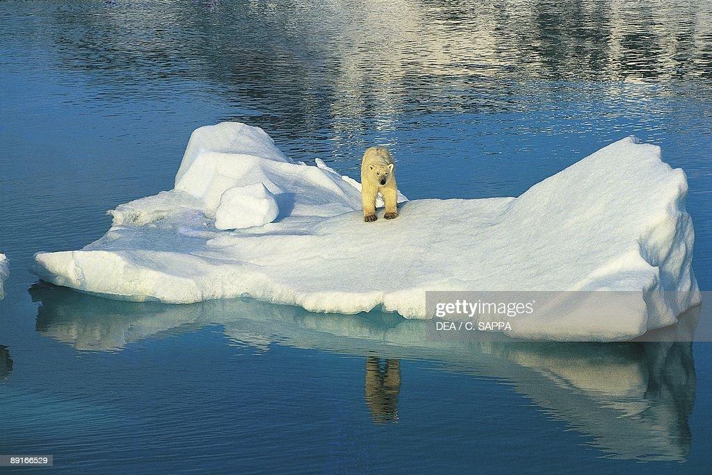 Norway, Svalbard islands, Woodfjord, Polar bear (Ursus maritimus) on iceberg