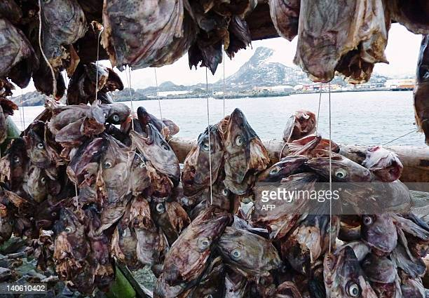 NorwayfishenvironmentlifestyleFEATURE by Nina Larson The heads of migrating and spawning eastArctic cod or Skrei of the old Norse term for the...