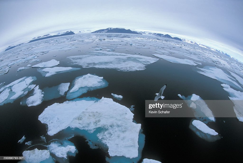 Norwegian Arctic Svalbard, Spitsbergen, pack ice with flying seagull : Stock Photo
