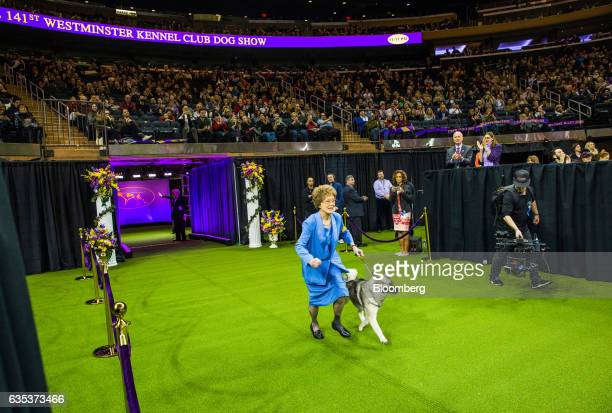 A Norwegian Elkhound and its handler enter the ring to compete for 'Best In Show' at the 141st Westminster Kennel Club Dog Show in New York US on...