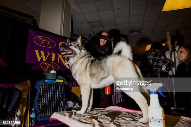 A Norwegian Elkhound is groomed backstage during the 141st Westminster Kennel Club Dog Show in New York US on Tuesday Feb 14 2017 The Westminster...