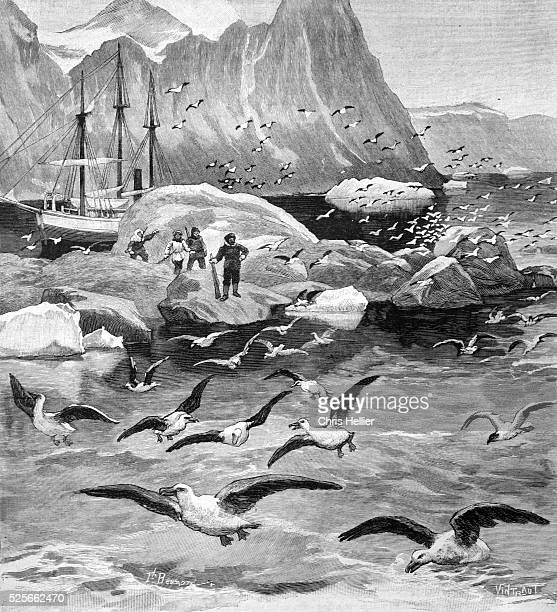 Norwegian Explorer Otto Sverdrup Guillemots or Guillemot Colony at Foulke Fiord Greenland 1903