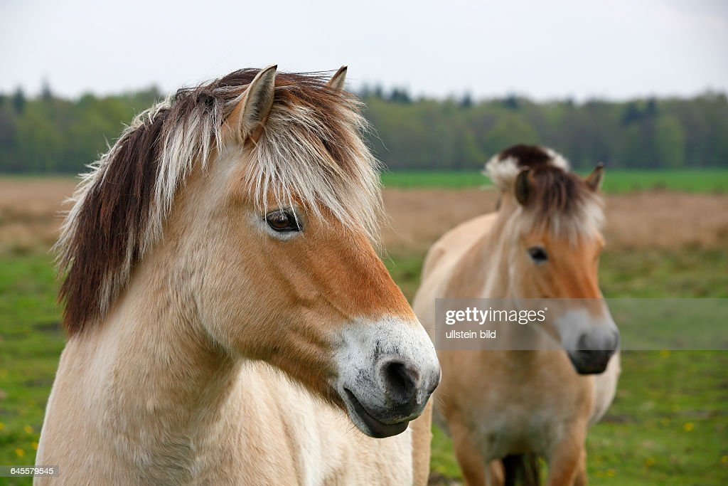 Norwegian Fjord Horse News Photo Getty Images