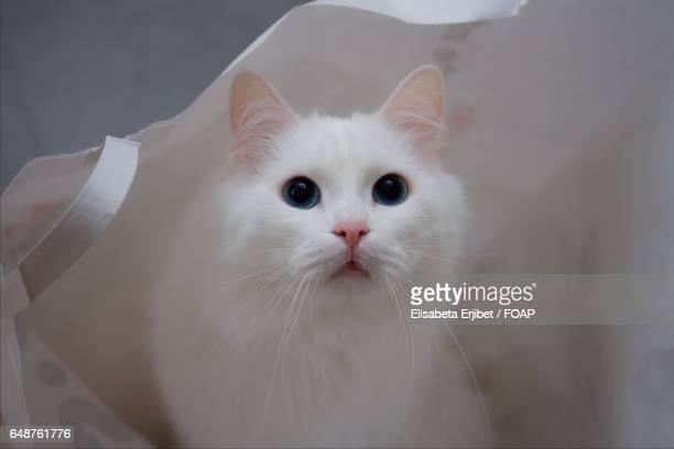 Norwegian forest cat in white bag
