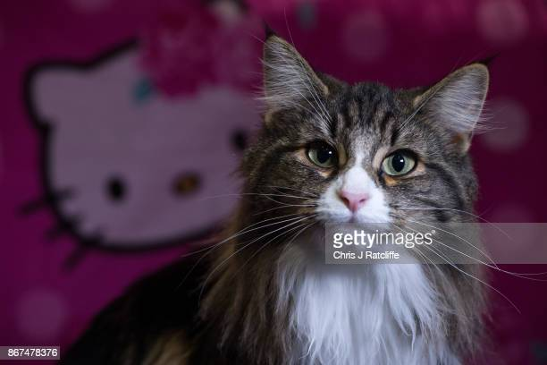 Norwegian Forest Cat Normagikatt Duchess is pictured after winning best in breed during the Supreme Cat Show on October 28 2017 in Birmingham England...